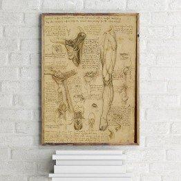 Leonardo da Vinci'nin boğaz ve bacak kasları deseni
